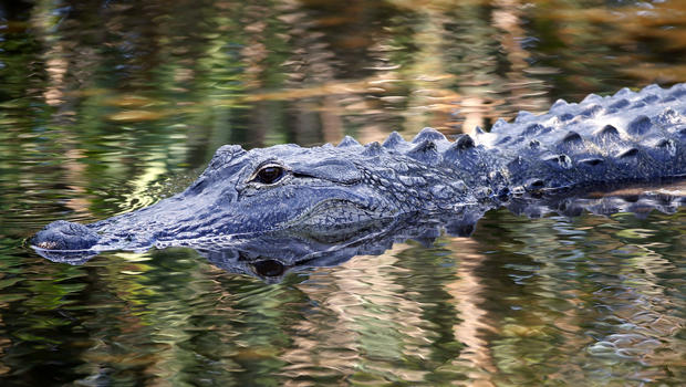 florida alligator 523020888